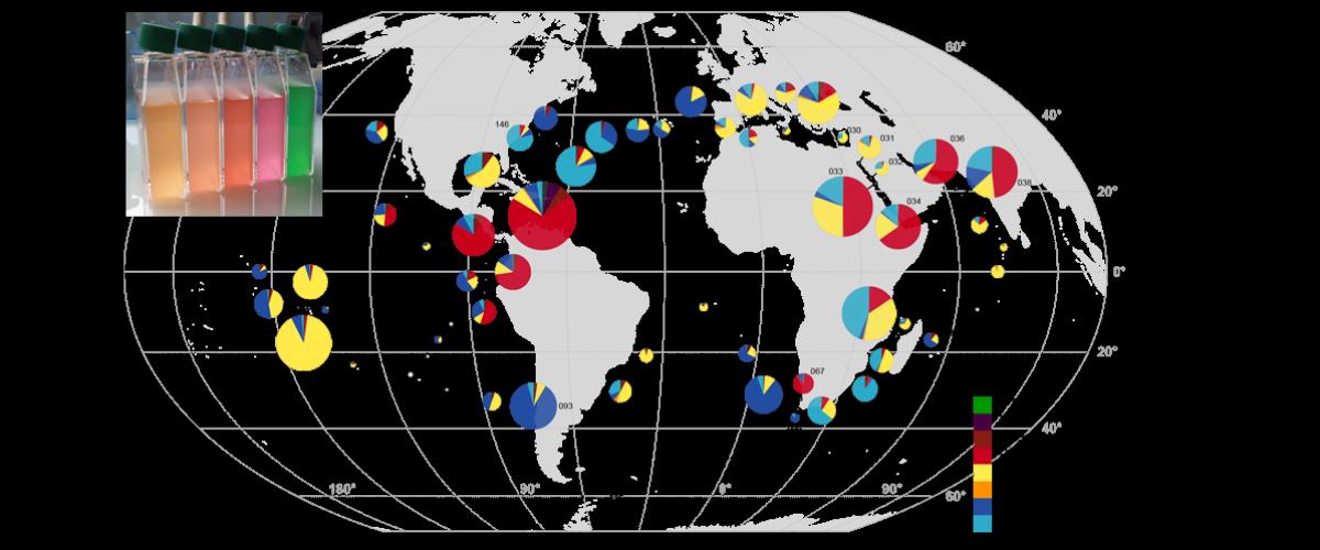 Carte de distribution des types pigmentaires des cyanobactéries Synechococcus le long du trajet de l'expédition Tara Oceans. © PNAS Grébert et al. (2018) – CNRS/Sorbonne Université