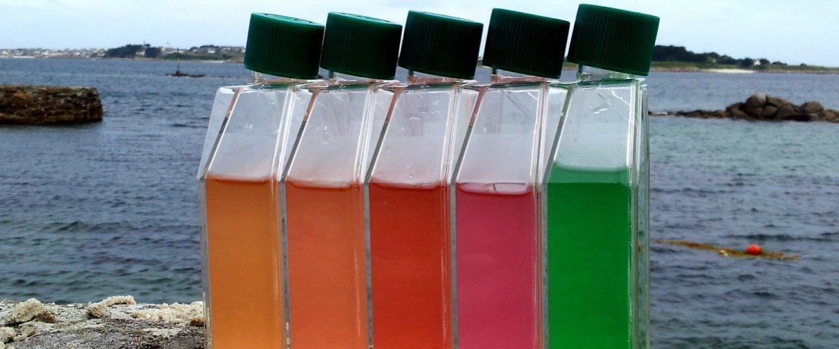 Flacons de culture montrant les différents types pigmentaires de la cyanobactérie marine Synechococcus.