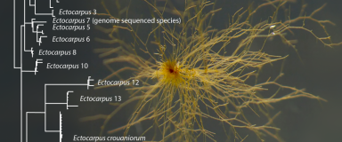 Figure d'après Leliaert et De Clerck (2017). Souche d'Ectocarpus sp. NZKU 1–3 (CCAP 1310/56) en culture (photo d'Olivier De Clerck), et arbre phylogénétique cox1 des Ectocarpus du sous groupe siliculosi montrant les 15 espèce délimitées sur la base des ma