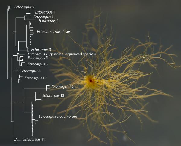 Fig. Leliaert et De Clerck (2017). Ectocarpus sp. NZKU 1–3 (CCAP 1310/56) et arbre phylogénétique cox1 des Ectocarpus du sous groupe siliculosi montrant les 15 espèce délimitées sur la base des des marqueursmoléculaires par Montecinos et al (2017)