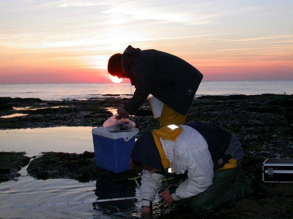 Gracilaria gracilis sampling in Cape Gris-Nez
