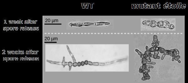 Morphology of the Ectocarpus mutant etoile